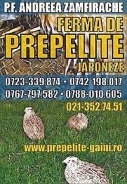 Vindem pui de prepelita, prepelite adulte si oua de incubatie sau de consum.