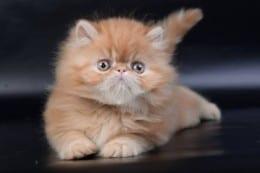 pisicuta persana