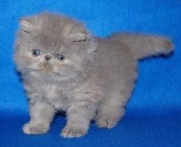 pisicuta persana blue
