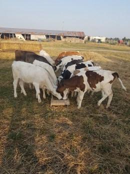 Vand 17 vitei si vitele rasa charolaise,baltata romaneasca