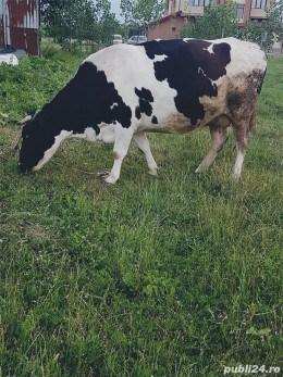 Vand vaca Holstein originala ,foarte buna de lapte