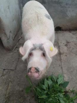 Porc gras