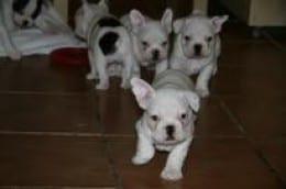 4 Puppii francez bulldog disponibile