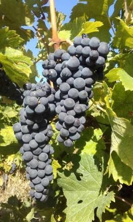 Struguri - BIO - soi nobil pentru vin - MERLOT - nestropiti