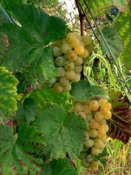 Struguri de vin - Nohan - Podu Turcului - BACAU