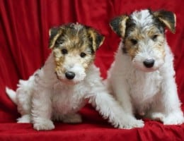 pui fox terrier superbi !!!